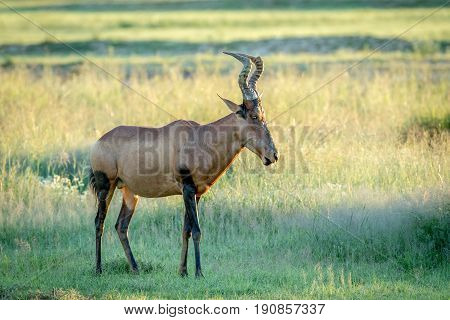 Red hartebeest standing in the grass in Kalagadi.