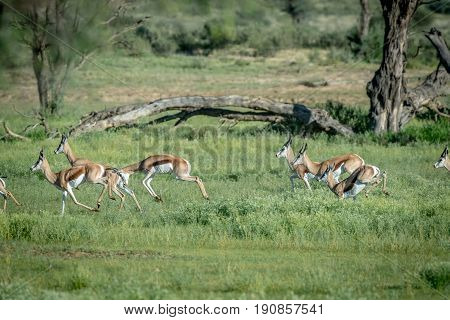 Herd Of Springboks Running In The Grass.