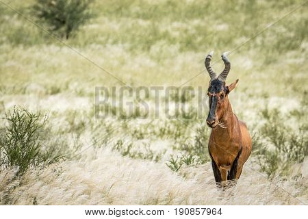 Red Hartebeest Standing In The High Grass.