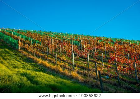 Raw vineyard vertical panoramic view on Waiheke Island, Auckland, New Zealand in a beautiful blue sky.