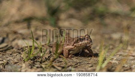 Rana temporaria in sunny spring hot day