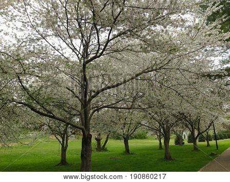 Cherry trees from Japan planted in East Tennessee.