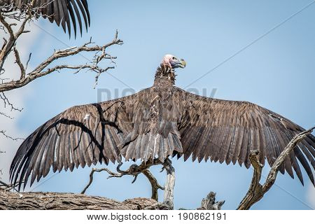 Lappet-faced Vulture Spreading His Wings.