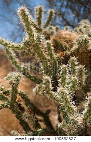Buckhorn Cholla (Cylindropuntia acanthocarpa) with Bird's Nest at Phoenix Sonoran Preserve Arizona USA