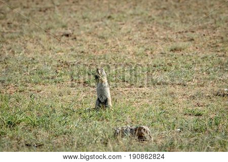 Ground Squirrel Eating Some Grass.