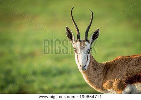 Close Up Of A Springbok Starring At The Camera.