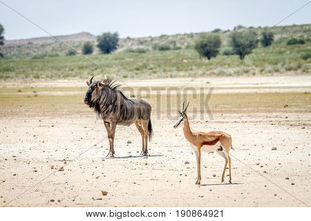 Blue Wildebeest And Springbok Standing In The Sand.