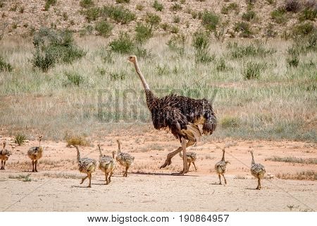 Mother Ostrich With Lots Of Chicks.