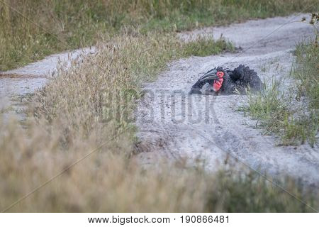 A Southern Ground Hornbill Dust Bathing.