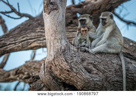Three Vervet Monkeys Resting On A Tree.