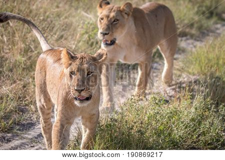 Two Lions Bonding On The Road.
