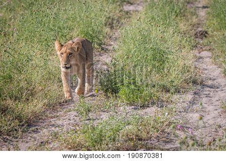 A Lion Cub Walking Towards The Camera.
