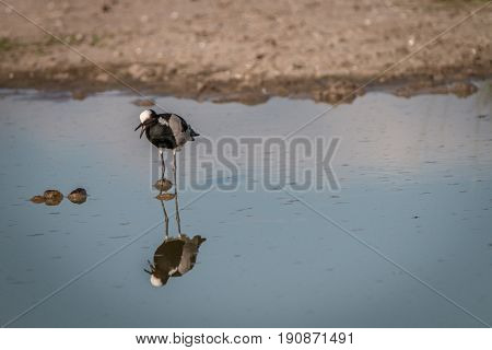 A Blacksmith Lapwing Standing In The Water.