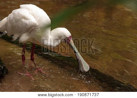 Fishing African Spoonbill Called Platalea Alba