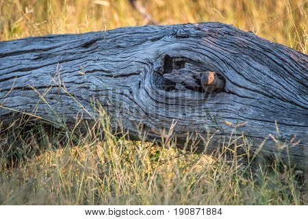 A Dwarf Mongoose Hiding In The Tree.