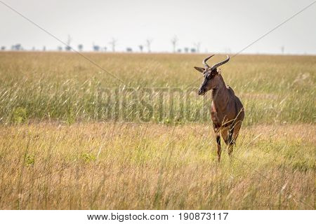 A Red Hartebeest Standing In The Grass.