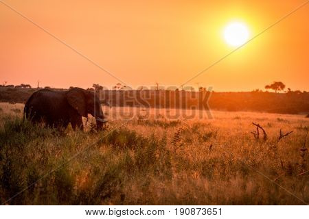 An Elephant Walking During The Sunset.