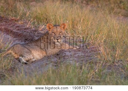 A Lion Cub Resting On The Road.
