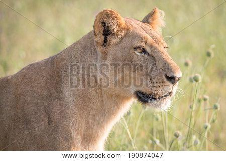 Side Profile Of A Female Lion.