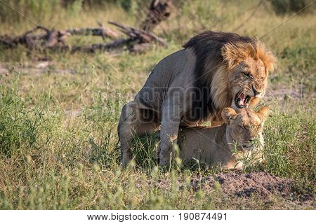 Two Lions Busy Mating In The Grass.