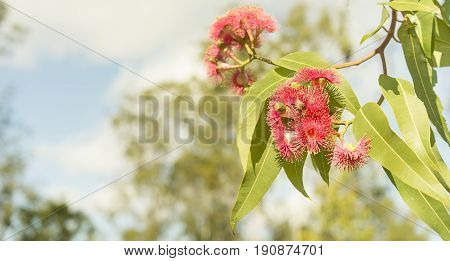 Panoramic view of Australian red flowers and green gum leaves of eucalyptus tree
