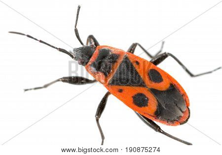 Red beetle on a white background. super macro