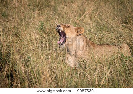 A Female Lion Yawning In The Grass.