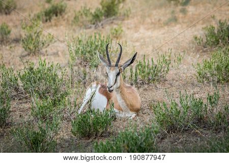 Springbok Laying In The Grass.