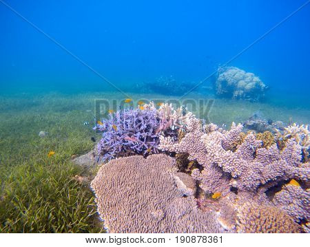 Coral reef landscape with sea grass. Young coral formation in shallow sea. Turquoise sea and tropical seabottom photo. Sea animals and plants. Exotic seashore. Marine inhabitants. Seawater ecosystem