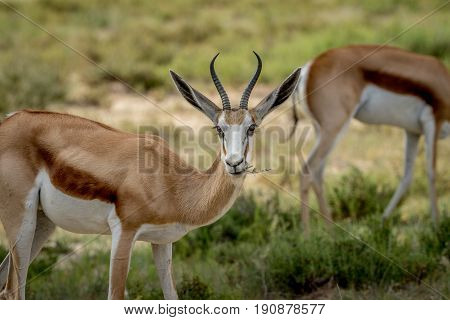 Close Up Of A Springbok In The Kalagadi.