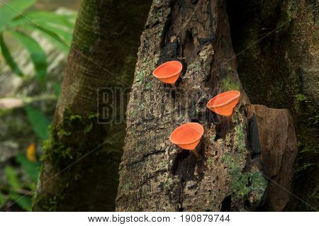 Mushrooms orange fungi cup ( Cookeina sulcipes ) on decay wood in the rain forest.