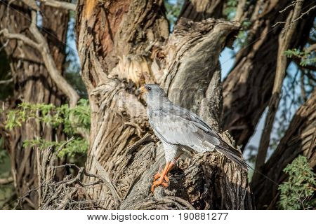 Pale-chanting Goshawk On A Branch.