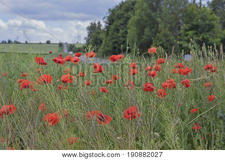 A Lot Of Red Poppies