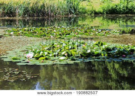 Nymphaea On Pond With Grass. Czech Landscape