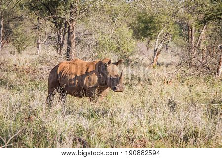 White Rhino Standing In The Grass And Starring.