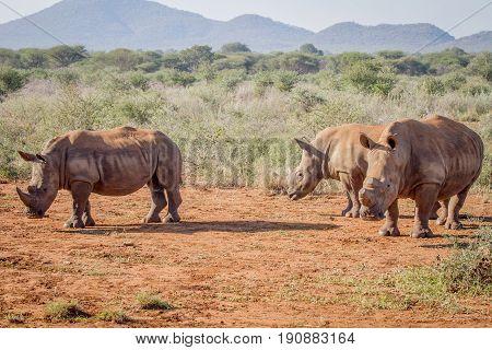 Three White Rhinos Standing In The Sand.