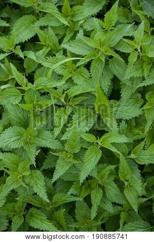 Top view on young shoots of nettle. Natural green grass background. Stinging nettle in nature.
