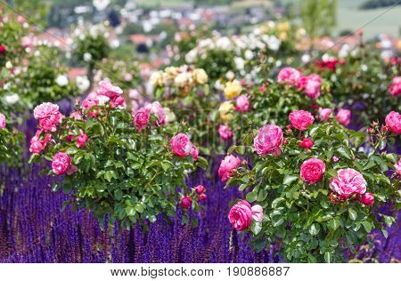 Pink rose's bushes and blue flowering ornamental salvia nemorosa in a rose garden English style