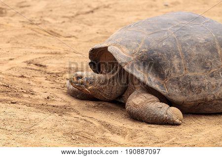 Santa Cruz Island Tortoise Chelonoidis nigra porter is part of the Galapagos Island giant tortoises.