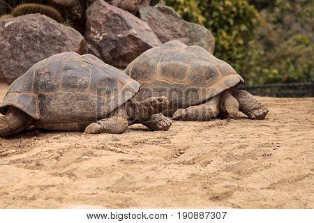 Sierra Negra Tortoise Chelonoidis nigra guntheri is part of the Galapagos Island giant tortoises.