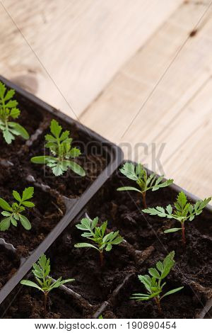 Top view on young baby plants growing on fertile soil. Agriculture. Small Growing Cantaloupe Sprouts on wooden background. Garden grow vegetables. Eco.