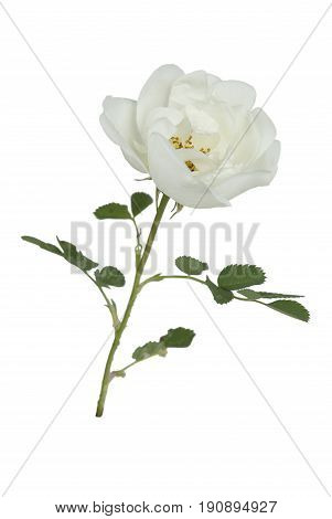 one flower of white wild rose isolated on a white background