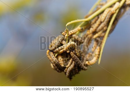 Caterpillars of ermine moths (Yponomeuta) on a communal larval web.