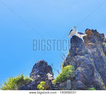 Seagulls are sitting in pairs on nests on a rock against the background of the blue sky