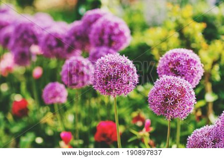 Purple giant Allium Flowers plant in the garden