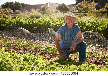 Portrait Of Mature Man Harvesting Beetroot On Allotment
