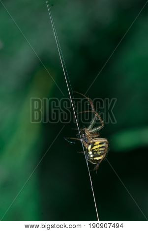 Argiope bruennichi-type Orb-web. spider crawling on a spider web on a green background
