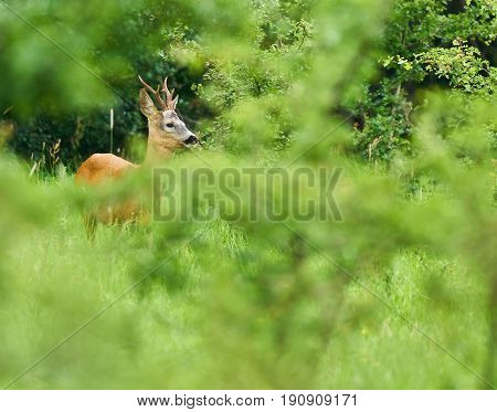 Roebuck In The Forest