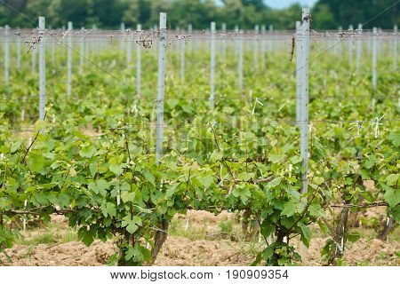 A vineyard with unripe grapes in the early summer