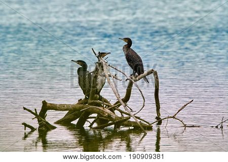 Juvenile Cormorants On A Tree In The Water